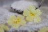 crystallised primroses