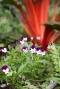 heart-ease pansies
