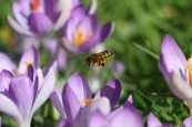 crocus and honey bee